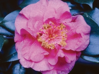 Camellia Cultivars Registered in 1951