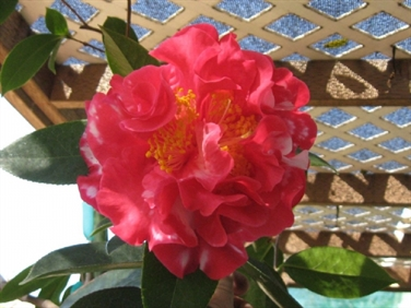 Camellia Cultivars Registered in 1994
