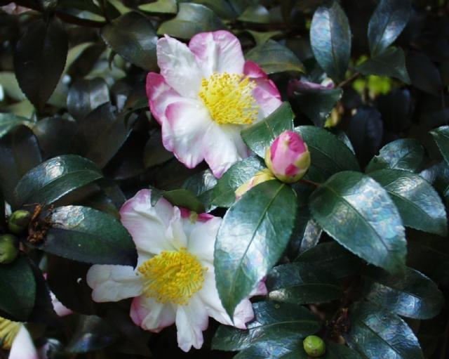 Hanajamin (Boastful Flower) - aka Hana-Jiman