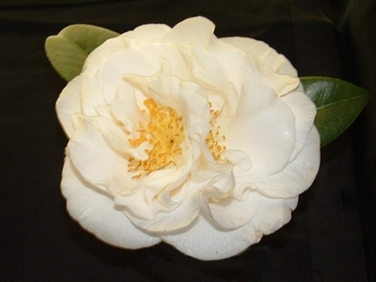 Camellia Cultivars Registered in 1977