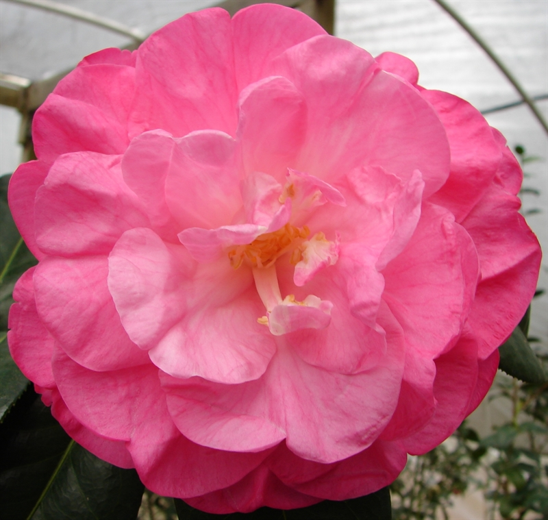 Fannie Louise Maphis American Camellia Society