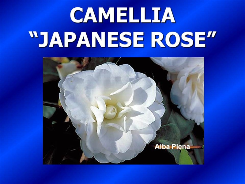 Camellias - Introduction, History & Forms