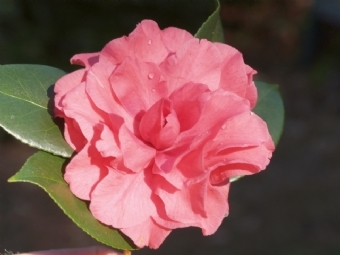 Camellias Registered by the American Camellia Society (Registration Numbers 1 through 100)