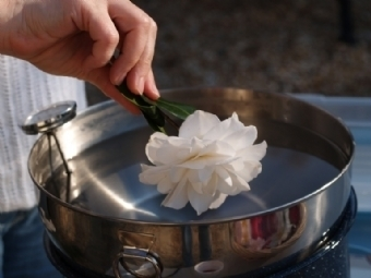 Waxing Camellias