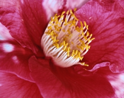 Photographing Camellias