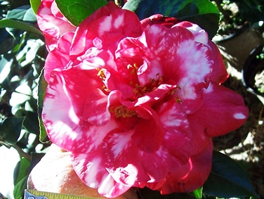 Camellia Cultivars Registered in 2013