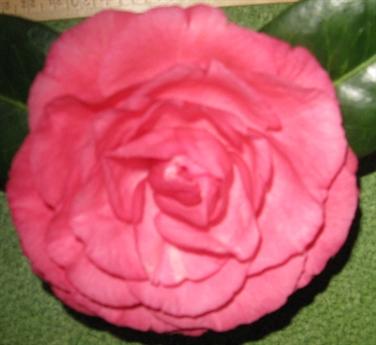 Paige Camellia