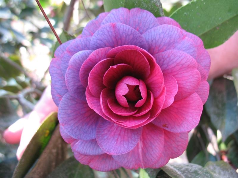 Purple Passion American Camellia Society