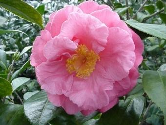 Southern Secret American Camellia Society