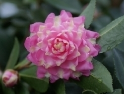 Camellia Cultivars Registered in 2012