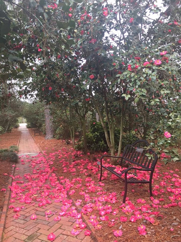 Festival of Camellias at Massee Lane Gardens