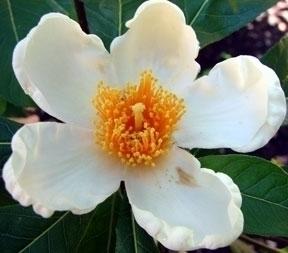 Camellia Relatives
