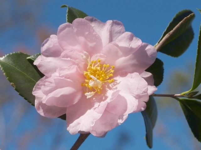 Cold Hardy Camellia Families