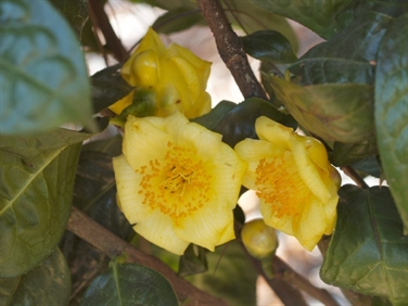 Yellow Camellias