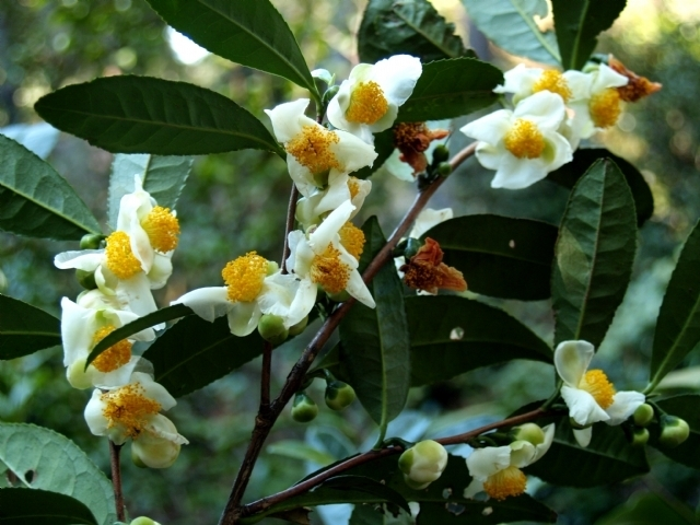 camellia sinensis backyard tea american camellia society. Black Bedroom Furniture Sets. Home Design Ideas
