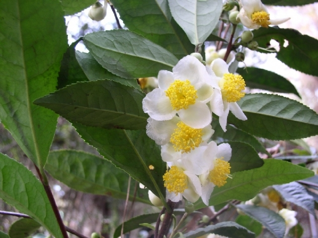 Making Tea and Other Products from Camellia Sinensis