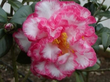 Archival Show Reports for the 2012-2013 Camellia Season