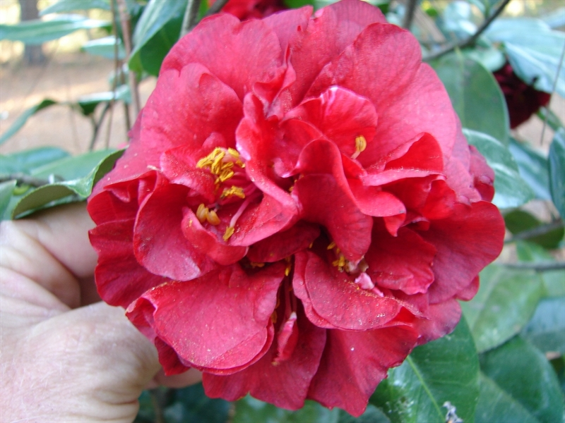Camellia Cultivars Registered in 2017