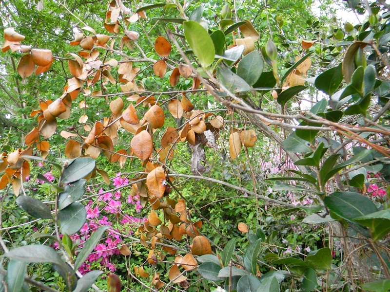 Camellia Canker and Dieback