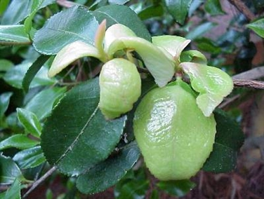 Exobasidum Leafgall of Camellia