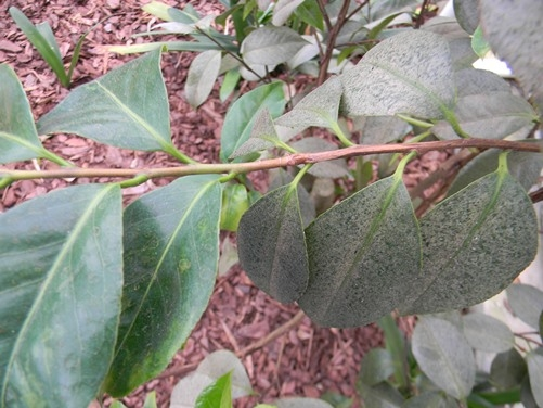 Insects and Diseases | American Camellia Society