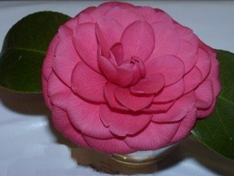 Camellia Cultivars Registered in 1990
