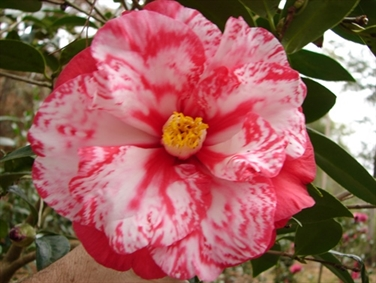 Hulyn Smith - Perfect Growing Area & Favorite Camellia