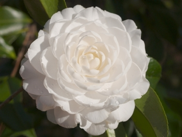Camellia Cultivars Registered in 1966