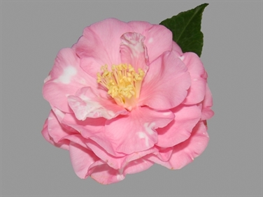 Camellia Cultivars Registered in 1960