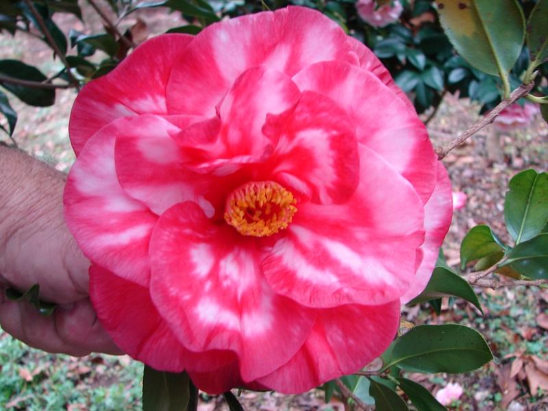 Camellia Cultivars Registered in 1976