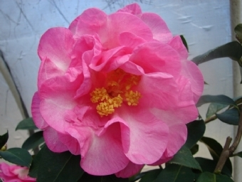 Camellia Cultivars Registered in 1991