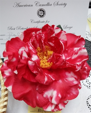 Camellias Beginning with B | American Camellia Society