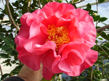 Camellia Cultivars Registered in 1988