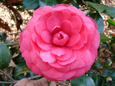 Camellia Cultivars Registered in 1993