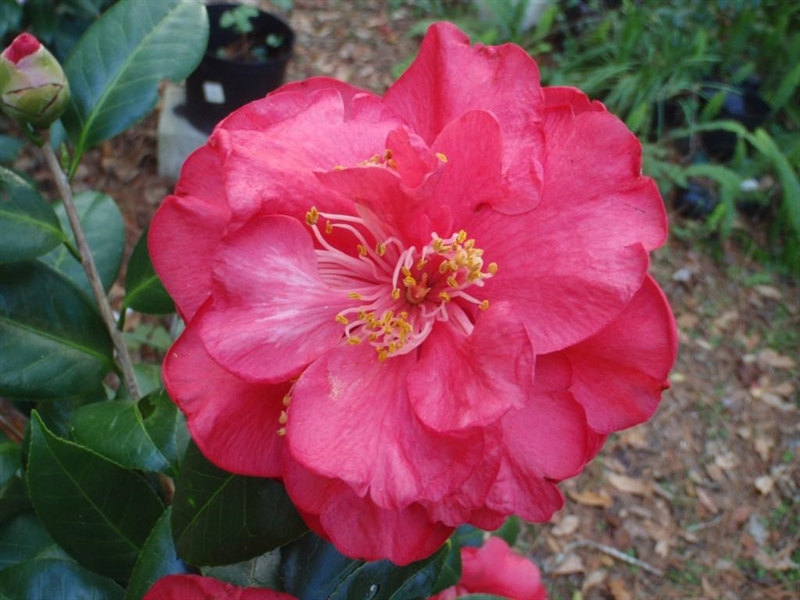 Red Coral American Camellia Society