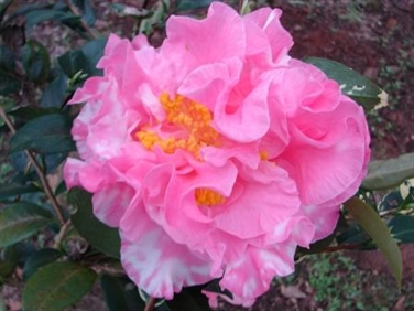 Archival Show Reports for the 2018-2019 Camellia Season