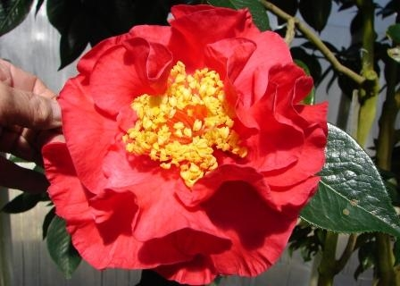 Camellia Cultivars Registered in 1980