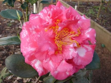 Archival Show Reports for the 2010-2011 Camellia Season