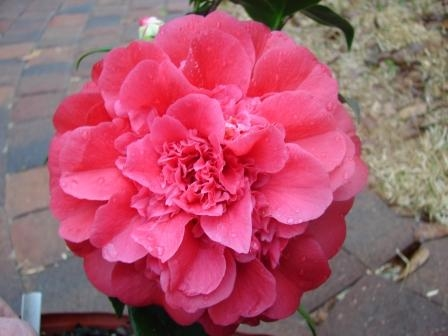 Archival Show Reports for the 2008-2009 Camellia Season