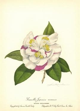 American Camellia Catalog