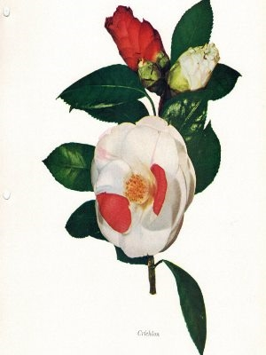 Camellias by G. G. Gerbing