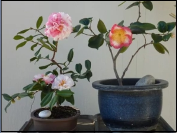 Bonsai Camellias