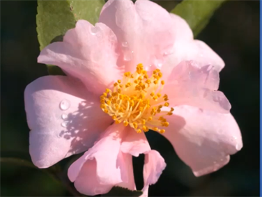 The Quest for Cold-hardy Camellias