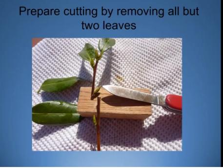 Camellia Propagation - Cuttings