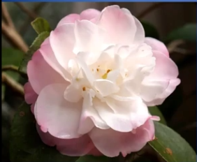 Fragrance in Camellias