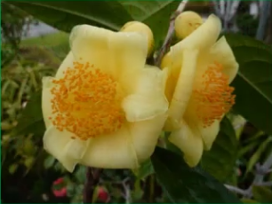 America's Gold Rush - Yellow Camellias