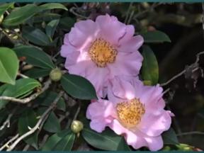 The Huntington Gardens Camellia Introductions