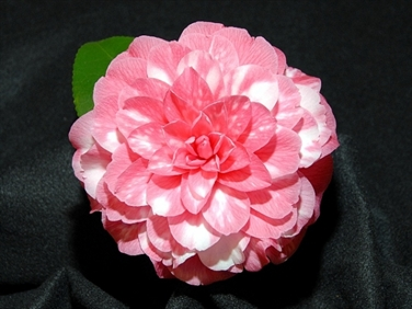 Camellia Cultivars Registered in 1972