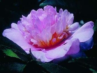 Camellia Cultivars Registered in 2003