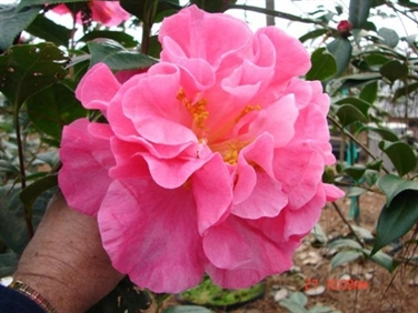 Camellia Cultivars Registered in 2009